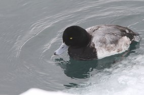 Adult male Greater Scaup (Photo by Nathan Goldberg)