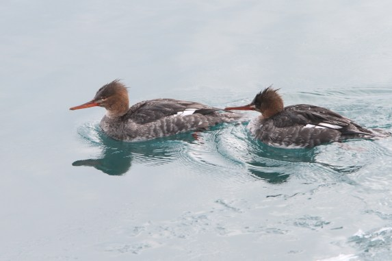 Two female Red-breasted Mergansers (Photo by Nathan Goldberg)