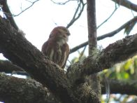 Ferruginous Pygmy-Owl (photo by Drew Weber)
