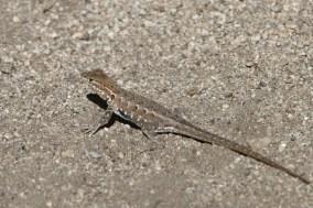 Western Side-blotched Lizard -- Uta stansburiana elegans (Photo by Nathan Goldberg)