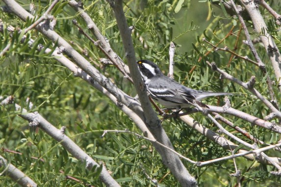 Male Black-throated Gray Warbler (Photo by Nathan Goldberg)