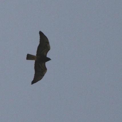 Dark/intermediate morph Swainson's Hawk (Photo by Nathan Goldberg)