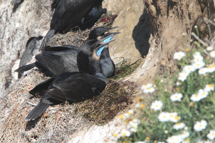 Nesting Brandt's Cormorants (Photo by Nathan Goldberg)