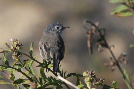 Female California Gnatcatcher (Photo by Nathan Goldberg)