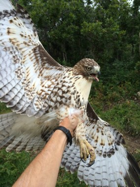 2017 is looking good for patriotic red-tails