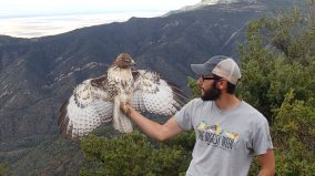 Immature red-tailed hawk from the front (photo by Olivia DaRugna)