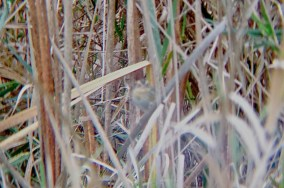 This Nelson's was one of two present at the Curtin Wetland that were quite confiding, contrary to what the lack of quality in the photo would indicate. Curtin Wetland, 10/21/14 (Photo by Matt Sabatine)