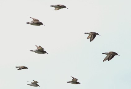 Mix of flyover Semipalmated and White-rumped Sandpipers - can you pick out which is which? (Photo by Alex Lamoreaux)