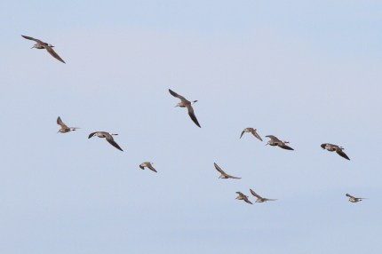 Lesser Yellowlegs, Semipalmated Sandpipers, and a Pectoral Sandpiper (Photo by Alex Lamoreaux)