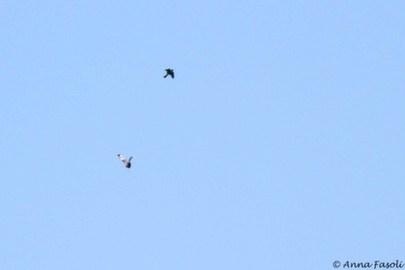 Bat Falcon making a move on a dark Short-tailed Hawk