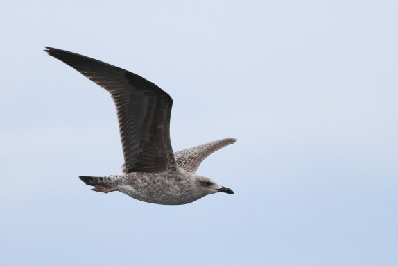 Lesser Black-backed Gull (Photo by Alex Lamoreaux)