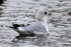 Mew Gull, Sullivan's Pond, Nova Scotia. Photo by Matt Sabatine.