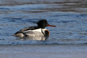 Red-breasted Merganser (Photo by Alex Lamoreaux)