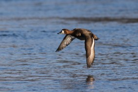 Greater Scaup (Photo by Alex Lamoreaux)