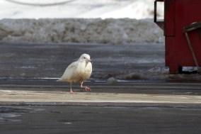 Glaucous Gull, Jodrey State Fish Pier, Gloucester, Massachusetts. Photo by Matt Sabatine.