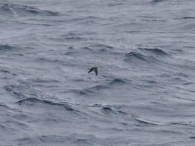 Band-rumped Storm-Petrel showing wing molt