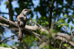 Yellow-billed Cuckoo (Photo by Alex Lamoreaux)