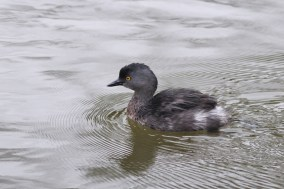 Least Grebe (Photo by Alex Lamoreaux)