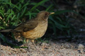 Clay-colored Thrush (Photo by Alex Lamoreaux)