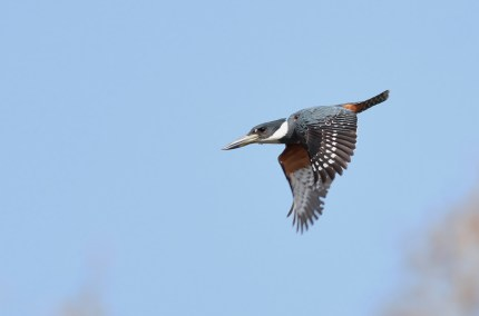 Ringed Kingfisher (Photo by Alex Lamoreaux)