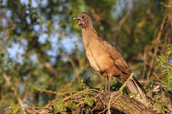 Plain Chachalaca (Photo by Alex Lamoreaux)