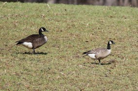 Canada and Cackling Geese (Photo by Alex Lamoreaux)