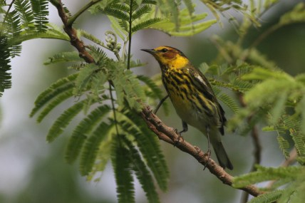 Cape May Warbler adult male (Photo by Alex Lamoreaux)