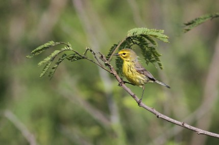Prairie Warbler (Photo by Alex Lamoreaux)