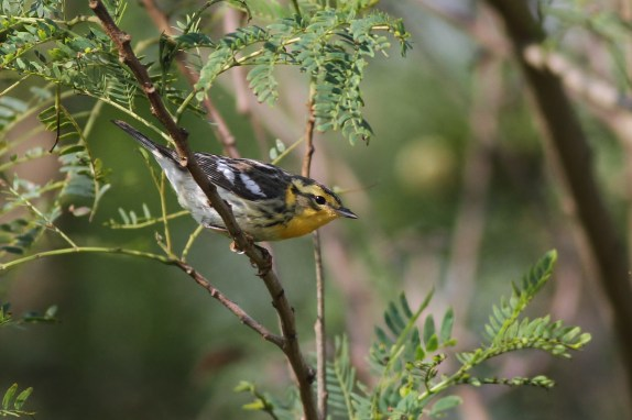 Blackburnian Warbler (Photo by Alex Lamoreaux)