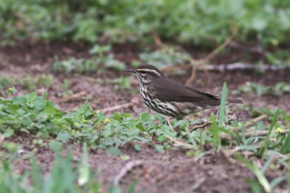 Northern Waterthrush (Photo by Alex Lamoreaux)