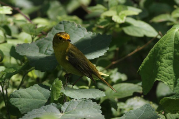 Wilson's Warbler adult female (Photo by Alex Lamoreaux)