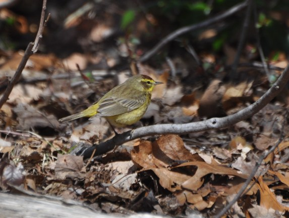 The first wave of warblers