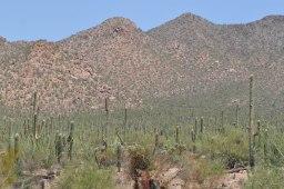 Saguaro sentinels