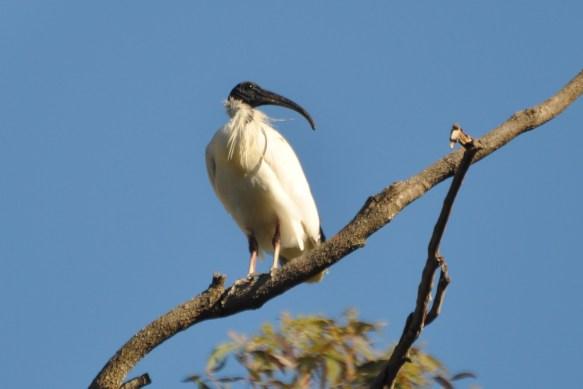 It's the ibis!