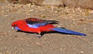 Panhandling parrots