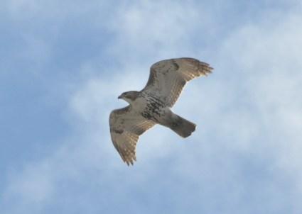 Hawk watching