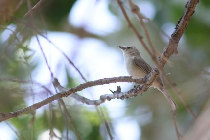 Lucy's Warbler - Photo by Nathan Goldberg