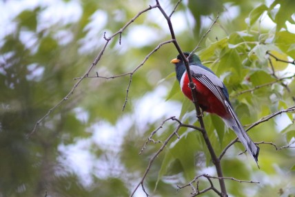 Elegant Trogon - Photo by Nathan Goldberg