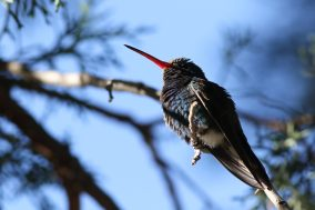 Broad-billed Hummingbird - Photo by Nathan Goldberg