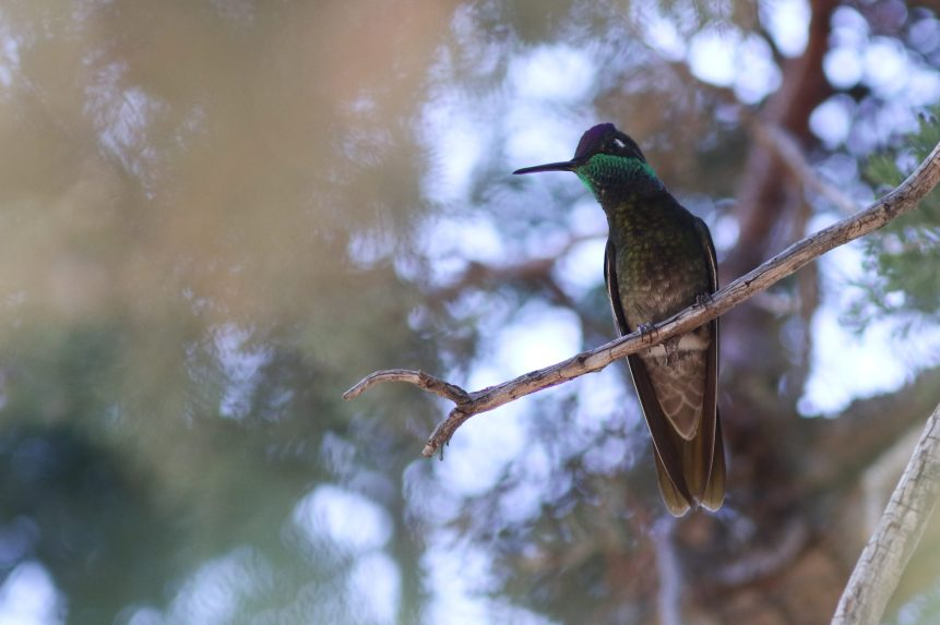 Rivoli's Hummingbird - Photo by Nathan Goldberg