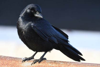A fine, friendly corvid