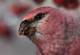 A gross beak