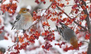 Berry birds