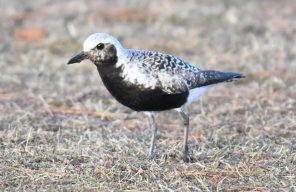 Damn, I wish I was your plover
