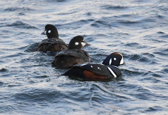 Dapper ducks