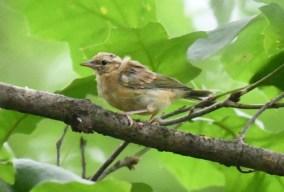 A wee warbler
