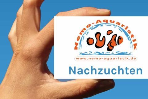 Nemo-Aquaristik Meerwasser Nachzuchten