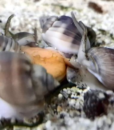 Wellhornschnecke-Netzreusenschnecke