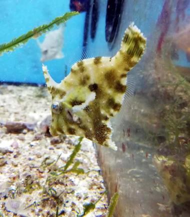 Seegrasfisch