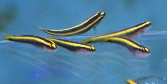 Elacatinus figaro - Gelbe Neonputzergrundel Nachzucht 1